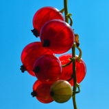 Redcurrants. Backlit bunch of redcurrants against blue sky Royalty Free Stock Photos