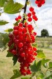 Redcurrants brilhantes em Bush Fotografia de Stock