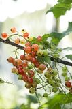 Redcurrants on the bush branch in the garden. royalty free stock photography