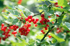 REDCURRANTS IN GARDEN Royalty Free Stock Image