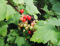 The redcurrants. That are not all red yet Royalty Free Stock Image