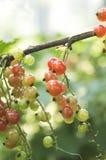 Redcurrants op de struiktak in de tuin royalty-vrije stock foto