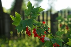 Redcurrants. Redcurrant berries on the branch Royalty Free Stock Images