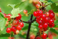 Redcurrants ripen in the sun Stock Image