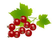 Redcurrants. On white background,drawing by illustration Royalty Free Stock Photo