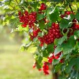 Redcurrantsbuske i trädgården Fotografering för Bildbyråer