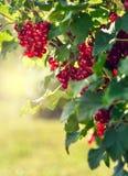 Redcurrantsbuske i trädgården Arkivfoto