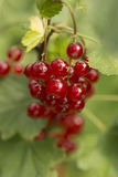 Redcurrent fruits on sprig - close-up Royalty Free Stock Photos