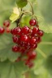 Redcurrent owoc na sprig - zakończenie Zdjęcia Royalty Free