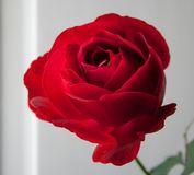 Redd rose. Clasic red rose with whitw background Royalty Free Stock Image