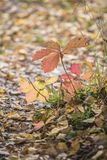 Reddened autumn leaves Royalty Free Stock Photos