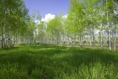 Reddening in a birch wood stock photos