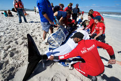 Proef Walvissen Beached Cape Town Royalty-vrije Stock Afbeeldingen