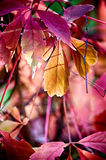 Reddish autumn leaves. Lovely view of reddish autumn leaves Royalty Free Stock Photos
