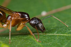 A reddish black winged ant Royalty Free Stock Image