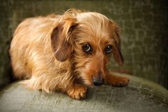 A reddish brown dachshund looks up with deep brown soulful eyes. Seated on a green cheer, a red dachshund looks out with pleading, soulful eyes Stock Images