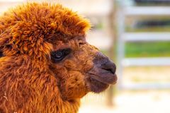 Reddish brown furry alpaca profile with fence in background stock image
