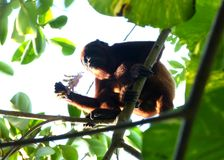 Reddish brown monkey among trees. Reddish brown monkey climbing on a tree with an inflorescence. Wild life and natural environment. Save nature Stock Image