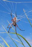 Reddish brown spider against blue sky. Image of a reddish brown spider in its web, shot against a blue sky Royalty Free Stock Photography