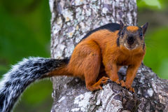Reddish brown squirrel. Close up of a reddish brown squirrel with a black strap on its back in Costa Rica stock photos
