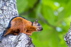 Reddish brown squirrel. Close up of a reddish brown squirrel with a black strap on its back in Costa Rica royalty free stock photo