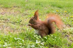 Reddish-brown squirrel eating nut on green grass. Reddish brown squirrel eating nut sitting on ground on green grass Stock Photos