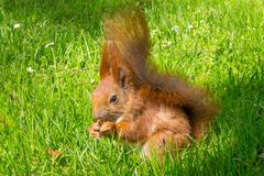 Reddish-brown squirrel eating nut on green grass. Reddish-brown squirrel eating nut sitting on ground on green grass Royalty Free Stock Photos