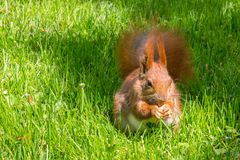 Reddish-brown squirrel eating nut on green grass. Reddish brown squirrel eating nut on ground on green grass Stock Photography
