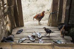 A Chicken with its chicks stands outside a traditional wooden Burmese house Royalty Free Stock Photography