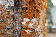 Red fungus growing on an old tree. Reddish colored fungus growing on the trunk of a birch tree stock image