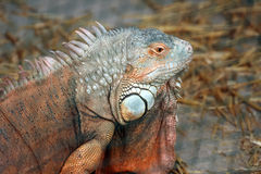 Reddish colored Green iguana Stock Photo