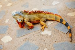 Reddish colored green iguana, Tenerife. Spain Royalty Free Stock Images
