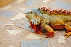 Reddish colored green iguana, Tenerife. Spain Royalty Free Stock Image