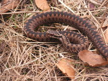 Reddish common adder Royalty Free Stock Photo