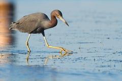 Reddish dawn. Reddish egret fishing along the shores of Florida Royalty Free Stock Image
