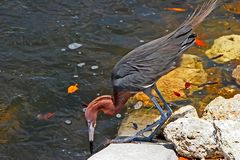 Reddish Egret Stock Photos