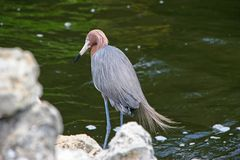 Reddish Egret Royalty Free Stock Photography