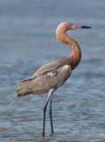 Reddish Egret. Photograph of a stately Reddish Egret standing tall while surveying a tidal flat for food as it hunts late in a spring day in south Texas Royalty Free Stock Image