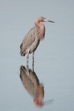 Reddish Egret. A Reddish Egret poses in a pool of water and casts a reflection Stock Images