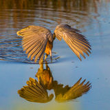Reddish Egret Royalty Free Stock Photography