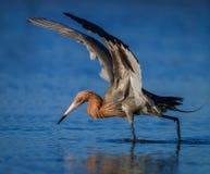 Reddish egret in breeding plumage fishing in pond in Florida stock photos