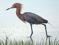 Reddish egret with breeding plumage, wading in a saltwater marsh Royalty Free Stock Image