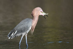 Reddish Egret - Catch of the Day Stock Images