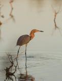 Reddish Egret with caught fish stock image