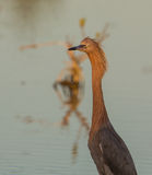 Reddish Egret close-up Stock Photo