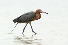 Reddish Egret (Dichromanassa rufescens) Royalty Free Stock Photos