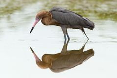 Reddish Egret (Dichromanassa rufescens) Stock Photo