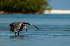 A reddish egret feeding in shallow water. stock image