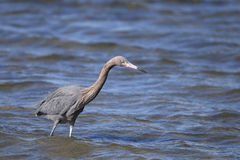 Reddish egret,  egretta rufescens Royalty Free Stock Photography
