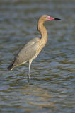 Reddish Egret, Egretta rufescens Royalty Free Stock Image